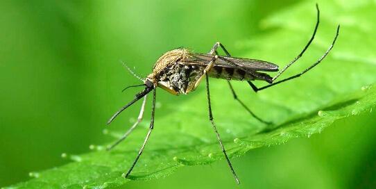 Комары переносят коронавирус