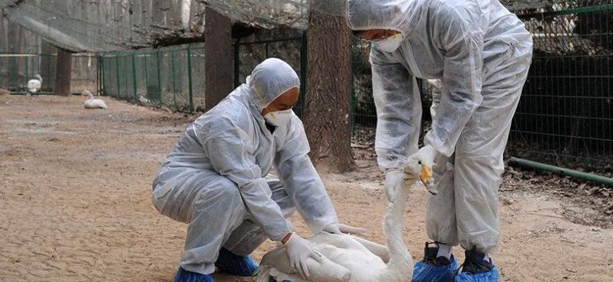 Птичий грипп что это